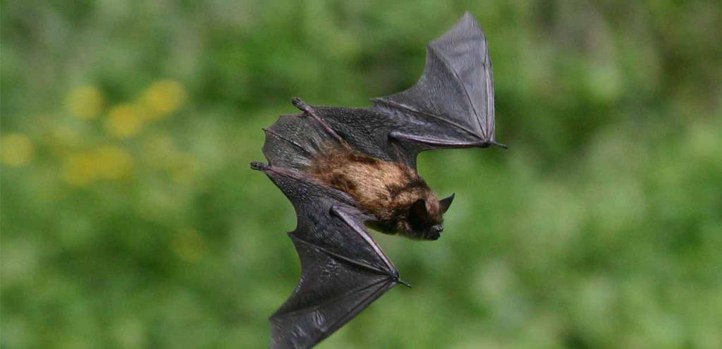 Denver Bat Removal