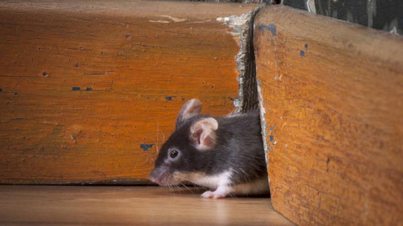 Denver Rat Control